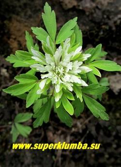 """ВЕТРЕНИЦА ДУБРАВНАЯ """"Виресценс"""" (Anemone nemorosa """"Virescens"""") очень необычная и редкая в садах форма с причудливо изрезанными лепестками околоцветника, похожими на зеленое с белым центром кружево. Высота 15 см, цветет с мая. НОВИНКА!  ЦЕНА 350 руб"""