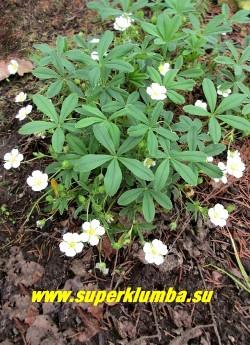 ЛАПЧАТКА БЕЛАЯ (Potentilla alba) травянистое растение 8-15 см высотой с пальчато-лопастными блестящими листьями, обильно цветущее белыми цветами до 3 см в диаметре, собраными в зонтиковидные соцветия. Цветет с мая по август. ЦЕНА 250-300 руб (1 дел)