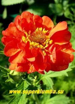 """ГРАВИЛАТ ЧИЛИЙСКИЙ """"Ред драгон"""" (Geum chiloense """"Red Dragon"""") гравилат с крупными махровыми оранжево-красными цветами до 4 см в диаметре, собранными в рыхлые соцветия. Цветет обильно и продолжительно с июня по сентябрь. Высота 20-30 см. ЦЕНА 300 руб"""