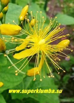 ЗВЕРОБОЙ ВОЛОДУШКОВИДНЫЙ (Hypericum bubleroides) Цветок крупным планом. Отогнутые назад лепестки и сильно выдающиеся многочисленные золотистые тычинки придают необычный вид этому редкому зверобою. РЕДКОЕ!  ЦЕНА 300руб