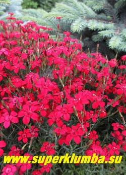 """ГВОЗДИКА ТРАВЯНКА  """"ЛЁЙХТФУНК"""" (Dianthus deltoides 'Leuchtfunk')   гвоздика  с очень яркими алыми цветами.  Высота  до 20 см, цветет июнь-июль. НОВИНКА!  ЦЕНА 200-250 руб (1 деленка)"""