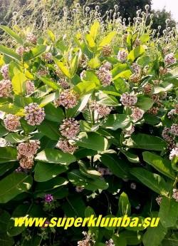 ВАТОЧНИК СИРИЙСКИЙ (Asclepias syriaca) травянистое растение высотой до 150 см, с яйцевидными кожистыми листьями и светло-сиреневыми   цветами собранными в зонтиковидные соцветия с сильным шоколадным ароматом. Цветет в июле 30-35 дней, прекрасный медонос, зимостоек без укрытия.  ЦЕНА  150-200 руб (делёнка)