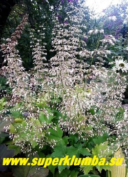 """Гейхера """"ЧАНТИЛЛИ"""" (Heuchera  Chantilly)  Эффектное и длительное  цветение- особенность этого сорта. НОВИНКА! ЦЕНА 250-300 руб (куст)"""
