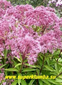 """ПОСКОННИК ГИБРИДНЫЙ """"Фантом"""" (Eupatorium maculatum ''Atropurpureum'' х Eupatorium rugosum """"Phantom"""") соцветие крупным планом. Отцветшие соцветия приобретают серебристую окраску и тоже декоративны, особенно в сухих букетах. ЦЕНА 250 руб (делёнка)"""