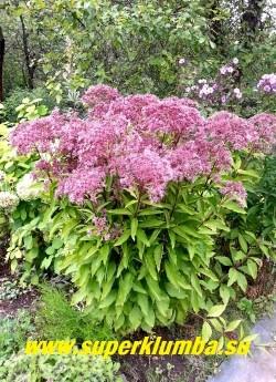 """ПОСКОННИК ГИБРИДНЫЙ """"Фантом"""" (Eupatorium maculatum ''Atropurpureum'' х Eupatorium rugosum """"Phantom"""") низкий сорт всего 80-100 см, темно-пурпурные  стебли, очень крупные пушистые лилово-розовые соцветия, цветет в августе. ЦЕНА 250 руб (делёнка)"""
