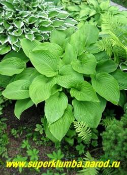 """Хоста МОНТАНА / ГОРНАЯ (Hosta MONTANA) Размер L. крупная хоста, с сердцевидными зелеными листьями с красивым четким жилкованием, красивая форма куста, замечательное обильное цветение в июле практически белыми цветами. Мирится с ярким солнцем. ЦЕНА 200 руб (1шт). Большинство хост предпочитает влажные места. На страничке """"ХОСТЫ"""" вы можете подобрать понравившиеся сорта ."""
