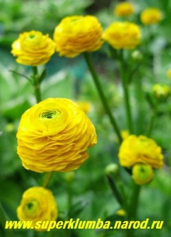 """ЛЮТИК ПОЛЗУЧИЙ """"Махровый"""" (Ranunculus repens f. hortensis)  неприхотлив, может расти в тени и сырых местах, морозостоек, прекрасно подходит для оформления водоемов, высота до 50см, цветет июнь. ЦЕНА 150 руб (делёнка)"""