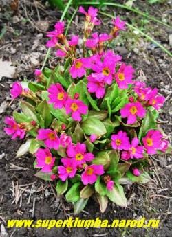 """ПРИМУЛА РОЗОВАЯ (Primula rosea)  редкая видовая миниатюрная примула с коричневатой листвой и очень яркими розовыми цветами, высота до 15см, цв. май, предпочитает полутень и влажные почвы. ЦЕНА 300 руб (1 шт). Влажные места предпочитает примула Флоринды и многие другие. Их все можно найти в разделе """"ПРИМУЛЫ""""."""