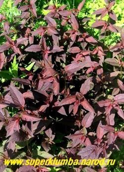 ВЕРБЕЙНИК ПУРПУРНЫЙ или РЕСНИТЧАТЫЙ (Lysimachia purpurea = L. ciliata)  пурпурная листва замечательно оттеняет зеленолистные растения, высота до 80 см, цветет июль-август.  Лимонно-желтые цветочки с красным глазком образуются на концах стеблей и в пазухах верхних листьев, формируя рыхлое соцветие. ЦЕНА 200 руб (3 шт)