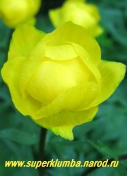 """КУПАЛЬНИЦА ЕВРОПЕЙСКАЯ """"лимонная"""" (Trollius europaeus) Кустик высотой до 60 см с красиворазрезной листвой и лимонными цветами диаметром до 5 см, распускающимися в мае-июне. Хорошо растет на влажных, но не заболоченных местах. ЦЕНА 150-200 руб (делёнка) Другие сорта купальниц можно посмотреть на странице """"КУПАЛЬНИЦЫ, ЛЮТИКИ, КАЛУЖНИЦЫ"""""""