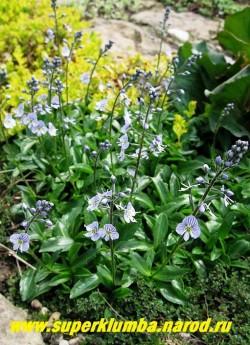 ВЕРОНИКА ГОРЕЧАВКОВИДНАЯ (Veronica gentianoides) образует красивые низкие кустики из темных кожистых листьев , цветет в июне-июле нежно-голубыми с темными прожилками цветами собранными в соцветие колос, а высоких ( 20-30см) цветоносах . Очень хорошо смотрится у небольших водоемов, расположенных рядом в рокарием. НЕТ В ПРОДАЖЕ
