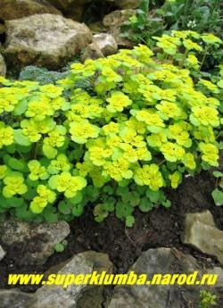 СЕЛЕЗЕНОЧНИК ОЧЕРЕДНОЛИСТНЫЙ (Chrysosplenium alternifolium) Мелкое оч. декоративное растение высотой 5-10см напоминающее мини молочай. Листья округлые, по краю волнистые, мясистые, блестящие. Цветет в апреле-июне. Желтые цветы в густых соцветиях появляются в апреле- мае . Желтые околоцветники вокруг цветов создают впечатление, что цветы крупные. на мягких почвах нуждается в ограничении, Очень красив весной в теневых садах у ручьев. ЦЕНА 150-200 руб (делёнка)