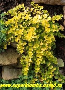 """ВЕРБЕЙНИК МОНЕТЧАТЫЙ """"Ауреа"""" (Lysimachia nummularia """"Aurea"""") стелющиеся побеги с золотыми листочками размером с мелкую монету , длиной до 30см, цветет желтыми цветами в июне 15-20 дней . Хорошо декорирует отвесные края водоемов, горок. На солнце желтая окраска листвы ярче, но может расти и в тени. Переносит временное затопление. ЦЕНА 200 руб (делёнка)"""