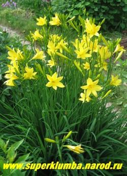 """Лилейник ЖЕЛТЫЙ (Hemerocallis lilio-asphodelus)  Лимонные цветы с запахом цветка лимона и по форме напоминающие фрезию сидят на изящных высоких безлистных стеблях, цветет с конца мая около месяца, выс. до 80см, Гармонично смотрится у водоема , в сочетании с ирисами голубых и белых тонов. ЦЕНА  150руб (1 шт) или 300 руб ( кустик из 3 шт) Для оформления водоема следует подбирать видовые лилейники или лилейники с некрупными цветами, чтобы не выбиваться из """"природного стиля"""". Смотрите другие сорта на страничке """"ЛИЛЕЙНИКИ""""."""