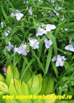 """ТРАДЕСКАНЦИЯ «БЛЮ ДЕНИМ» (Tradescantia «Blue Denim»)  жемчужно-голубая, крупные цветы диаметром  5 см, цветет с июня-сентябрь, высота. 50-60 см, кусты традесканции длительное время сохраняют декоративность. Хорошо смотрятся у водоемов. ЦЕНА 150 руб (1 шт) или 250 руб (кустик: 3-4 шт)  Другие сорта традесканций можно посмотреть на странице """"ТРАДЕСКАНЦИИ САДОВЫЕ """""""