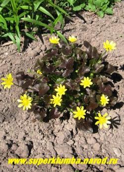 """ЧИСТЯК ВЕСЕННИЙ сорт """"Бразен Хасси"""" (Ficaria verna """"Brazen Hussy"""") декоративная форма с лакированной темно -шоколадной листвой и звездчатыми лимонно- желтыми цветками диаметром 1-1,5см. Эфемероид- летом листва исчезает, Высота 10-15см, цветение апрель-май. Хорошо растет на влажных почвах. ЦЕНА 250 руб. (делёнка) Другие сорта чистяка можно посмотреть на странице """"КУПАЛЬНИЦЫ, ЛЮТИКИ, КАЛУЖНИЦЫ"""""""