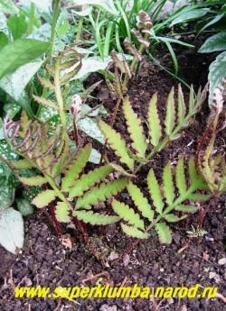 ОНОКЛЕЯ ЧУВСТВИТЕЛЬНАЯ (Onoclea sensibilis) красивый папоротник с изящными светлозелеными перисторассеченными листьями, которые весной имеют бронзово-розовую окраску. В конце лета появляются спорофилы напоминающие нитки жемчуга. Неприхотлив, хорошо разрастается, зимостоек. Может расти на мелководье. ЦЕНА 200-250 руб (делёнка)