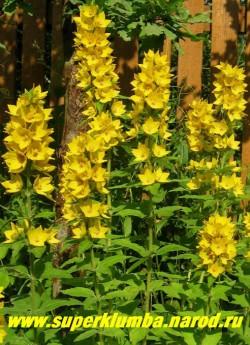 ВЕРБЕЙНИК ТОЧЕЧНЫЙ (Lysimachia punctata)  Стебель прямостоячий, высотой 50-60см. Листья сидячие, широколанцетные, цветки лимонно-желтого цвета. Цветет в конце июня-начале июля в течение 30-35 дней , Предпочитает светлое место, быстро нарастает, образуя красивый куст. Эффектен в групповых посадках у водоемов и в миксбордерах. ЦЕНА 150 руб (делёнка)