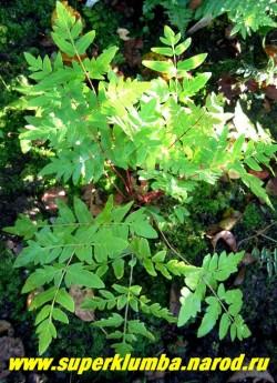 ЧИСТОУС КОРОЛЕВСКИЙ (Оsmunda regalis) Один из самых красивых папоротников. Весенняя листва красно-бурая, а осенью золотистая. Листья крупные, перистые, блестящие с розовыми черешками. Растет медленно, но достигает поистине королевских размеров до 1,5 метров. На зиму желательно профилактическое укрытие листом дуба, клена или липы.   НЕТ В ПРОДАЖЕ