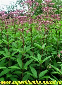 """ПОСКОННИК ПУРПУРНЫЙ (Eupatorium purpureum)   высокие до 170 см пурпурные стебли с дымчато-розовыми соцветиями из мелких цветочков появляющихся в конце июля. Отцветшие соцветия приобретают серебристую окраску и тоже декоративны, особенно в сухих букетах. Подойдет для создания """"зеленой ширмы"""" с южной стороны водоема. Другие сорта посконника можно посмотреть на странице """"ДАРМЕРА, ВАТОЧНИКИ, ПОСКОННИКИ, КЛОПОГОН, КРОВОХЛЕБКИ, РОДЖЕРСИЯ и др."""""""