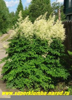 """ВОЛЖАНКА ОБЫКНОВЕННАЯ (Arunkus dioicus)  это крупное растение похожее на """"гигантскую астильбу"""" порадует своим мощным цветением в июне-июле, высота 1,5 -2,0м, огромные соцветия достигают до полуметра ! Волжанка предпочитает богатые влажные почвы и легкое затение. ЦЕНА 250-350 руб (делёнка)"""