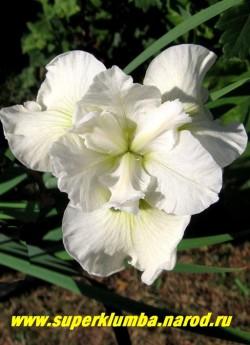 Ирис сибирский БЕЛИССИМА (Iris sibirica Bellissima) Шедевр среди сибирских ирисов!Белоснежные цветки идеальной округлой формы с лимонными прожилками, средне-поздний. Высота 75-80 см. НОВИНКА! ЦЕНА 400 руб.  (делёнка)