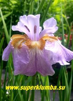 Ирис сибирский РИКУДЖИ САКУРА (Iris sibirica Rikugi Sakura) нежный сиренево-розовый цветок с белым основанием лепестков и желто-коричневым рисунком из жилок на нем.    Цветы крупные, двурядные (6 лепестков внизу, 4 наверху) .   Лепестки широкие, формой цветок похож на  японский ирис. Красивый!  Высота 60 см Цветет в июне-июле. НОВИНКА! ЦЕНА 300 руб  (делёнка)