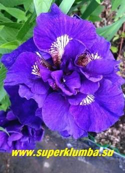Ирис сибирский КЭБУМ  (Iris sibirica Kaboom)  сногсшибательный густомахровый сорт с бархатистой насыщенной   сине-фиолетовой окраской. Контрастные жёлтые сигналы переходят в белое пятно, окруженное синеватой окраской.  Цветы очень крупные.  Высота 70 – 100 см. Среднепозднего срока цветения.   НОВИНКА ! ЦЕНА 450 руб  (делёнка)