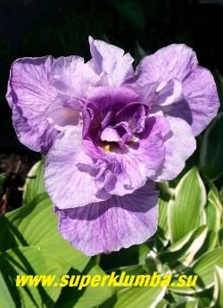 Ирис сибирский РИГАМАРОЛЕ  (Iris sibirica Rigamarole)   Густомахровый цветок (20лепестков) лавандово-розового  цвета, при раскрытии фолы становятся розоватого оттенка с белыми штрихами, середина остается темной. Высота 60-90см, цветок диаметром 10 см. Цветение во второй  половине июня. НОВИНКА! ЦЕНА 450 руб. (делёнка)   НЕТ НА ВЕСНУ.