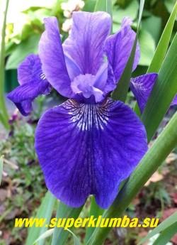 Ирис сибирский РАФФЛЕД ВЕЛЬВЕТ (Iris sibirica Ruffled Velvet)   Бархатистые лепестки, красивый насыщенно-синий цвет, очень обильное и продолжительное цветение за счет большого количества цветоносов. Неприхотлив, хорошо нарастает. Высота цветоноса 50 см. Среднепоздний срок цветения. Награды: НМ-74, МА-80. НОВИНКА!   ЦЕНА  280 руб  (делёнка)
