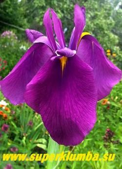 Ирис японский ДЯДЯ СТЕПА (Iris ensata) Ирис с очень высокими цветоносами. Цветы   ярко пурпурные  с яркожелтым узким сигналом на отогнутых вниз широких нижних лепестках, верхние узкие лепестки смотрят вверх.   Прекрасное растение для декораторов. Высота цветоносов 170 см. НОВИНКА! ЦЕНА 350 руб  НЕТ НА ВЕСНУ.