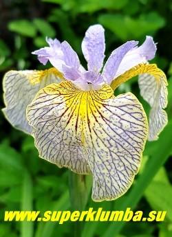 ИРИС гибридный АЛАЙ УПС  (Iris Ally Oops) предпололжительно гибрид I.pseudacorus с I. sibirica. Очень нежная необычная окраска цветка- верхние лепестки голубые, нижние кремово-желтые с  золотой каймой,  по всему полю испещрены тонкими синими прожилками.  Красивый крупный куст вазообразной Формы декоративен весь сезон.  Высота с цветоносами 80-100см. Цветение  в июле.  Награды: НМ-05, АМ-07, Randolph-10.НОВИНКА!  ЦЕНА 350 руб