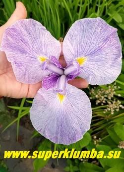 Ирис японский КИЙОЗУРУ (Iris ensata Kiyosuru)  Предпочитает    плодородные влажные  почвы c хорошим дренажом.  На зиму нуждается в сухом укрытии. НОВИНКА!  ЦЕНА 350 руб  (делёнка