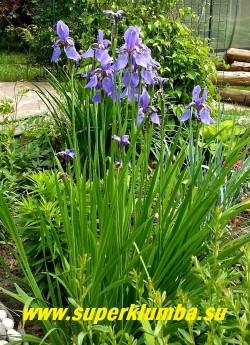 Куст ИРИСА СИБИРСКОГО ( Iris sibirica) в  саду. Этот ирис настоящая находка для ландшафтного дизайнера! ЦЕНА 150-200 руб  (делёнка)