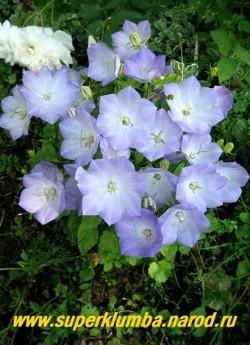 КОЛОКОЛЬЧИК КАРПАТСКИЙ МИНИ НЕЖНО-ГОЛУБОЙ (Campanula carpatica)  нежно-голубые колокольчики диаметром 3,5-4см. Низкий кустик до 20 см в высоту , Цветет с июня 60-70 дней, высота 12-15 см, ЦЕНА 300 руб ( 1дел) НЕТ НА ВЕСНУ