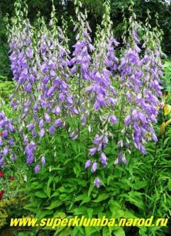 КОЛОКОЛЬЧИК РАПУНЦЕЛЕВИДНЫЙ ( Campanula rapunculoides)  очень изящный высокий колокольчик, неприхотлив, цветет июль-август, высота 1м, используют в одиночных и групповых посадках, теневынослив. ЦЕНА 150 руб ( 1дел)