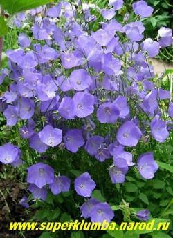 КОЛОКОЛЬЧИК КАРПАТСКИЙ голубой (Campanula carpatica) Долговечный  и самый неприхотливый сорт.  Цветки одиночные, воронковидно-колокольчатые, до 5 см в диаметре. Цветет  большой шапкой с июня 60-70 дней, высота цветоносов 20-30 см, ЦЕНА 200 руб (1 дел)
