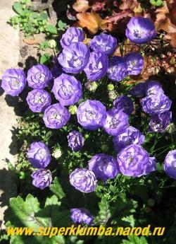 КОЛОКОЛЬЧИК КАРПАТСКИЙ МАХРОВЫЙ СИНИЙ (Campanula carpatica flore plena) Синие махровые цветки диаметром 3,5-4см . Низкий кустик 15 см в высоту. Цветет с июня 60-70 дней, НОВИНКА! ЦЕНА 400 руб (1 дел) НЕТ НА ВЕСНУ