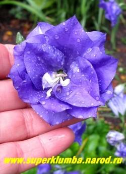 КОЛОКОЛЬЧИК ПЕРСИКОЛИСТНЫЙ МАХРОВЫЙ «ФИОЛЕТОВЫЙ» (Campanula persicifolia fiore pleno) Цветок крупным планом. Диаметр цветка до 6 см. НОВИНКА! ЦЕНА 300 руб ( 1 дел) НЕТ НА ВЕСНУ