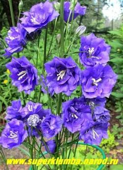 КОЛОКОЛЬЧИК ПЕРСИКОЛИСТНЫЙ МАХРОВЫЙ «ФИОЛЕТОВЫЙ» (Campanula persicifolia fiore pleno) махровые крупные фиолетово-синие цветы на высоких 50-70 см цветоносах. Цветет июнь-июль. НОВИНКА! ЦЕНА 300 руб ( 1 дел) НЕТ НА ВЕСНУ