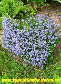 """КОЛОКОЛЬЧИК ЛОЖЕЧНИЦЕЛИСТНЫЙ """"голубой"""" (Campanula cochlearifolia) миниатюрный колокольчик , цв. с июня по август,разрастаясь образует коврик высотой 5-10 см, Эффектен в альпинарии. ЦЕНА 250 руб (1 дел).  НЕТ НА ВЕСНУ"""