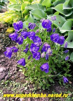 """КОЛОКОЛЬЧИК ТЕМНОВАТЫЙ """"Дж.Ф.Вильсон"""" (Campanula х pulloides """"G.F.Wilson"""") гибридный низкий колокольчик с крупными круглыми фиолетовыми цветками, диаметром 3см. Высота 10-18 см. Цветет с начала июня до сентября. НОВИНКА! ЦЕНА 300 руб."""