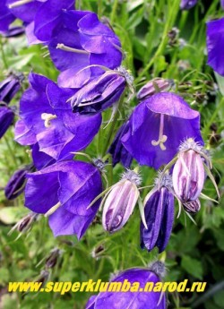 "КОЛОКОЛЬЧИК ТЕМНОВАТЫЙ ""Дж.Ф.Вильсон"" (Campanula х pulloides ""G.F.Wilson"") цветы крупным планом. НОВИНКА! ЦЕНА 300 руб."