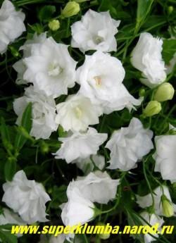 """КОЛОКОЛЬЧИК ЛОЖЕЧНИЦЕЛИСТНЫЙ махровый """"АЛЬБА"""" (Campanula cochlearifolia)  цветы крупным планом. НЕТ В ПРОДАЖЕ"""