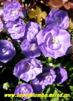 ОЛОКОЛЬЧИК КАРПАТСКИЙ МАХРОВЫЙ СИНИЙ (Campanula carpatica flore plena) цветы крупным планом. НОВИНКА! ЦЕНА 400 руб (1 дел) НЕТ НА ВЕСНУ