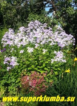 КОЛОКОЛЬЧИК МОЛОЧНОЦВЕТКОВЫЙ «ЦЕРУЛЕА» (Campanula lactiflora «caerulea») высокий колокольчик с крупными шапками нежно-голубых цветов, высота 70-100 см , цветет с июня по август, ЦЕНА 200 руб (1 шт)