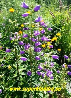 КОЛОКОЛЬЧИК КРАПИВОЛИСТНЫЙ  (Campanula trachelium)  неприхотливый и красивый колокольчик с лиловыми цветами 4-5см в длину в высоких колосовидных соцветиях,  высота 50-60 см, цветет июль-август, ЦЕНА 100 руб (1 шт )