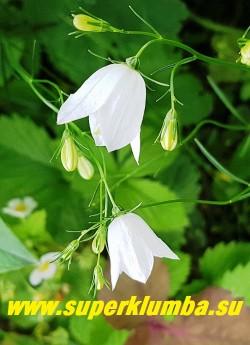 КОЛОКОЛЬЧИК КРУГЛОЛИСТНЫЙ АЛЬБА (Campanula rotundifolia alba) белоцветковая форма. Стебли многочисленные, длиной 30-40 см. Очень обильное цветение. НОВИНКА! НЕТ В ПРОДАЖЕ.