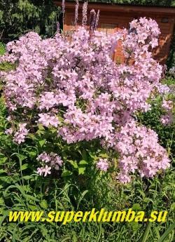 КОЛОКОЛЬЧИК МОЛОЧНОЦВЕТКОВЫЙ «Лоддон Анна» (Campanula lactiflora «Loddon Anna') Цветы нежно розовые в высоких густых соцветиях . Предпочитает солнечное место. НОВИНКА! ЦЕНА 300 руб