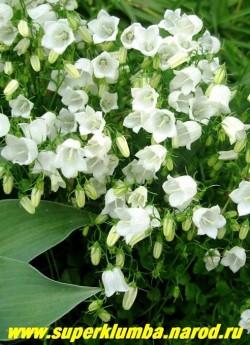 """КОЛОКОЛЬЧИК ЛОЖЕЧНИЦЕЛИСТНЫЙ """"АЛЬБА"""" (Campanula cochlearifolia alba plena)  миниатюрный белый колокольчик , цв. с июня по август,разрастаясь образует коврик высотой 5-10 см, Эффектен в альпинарии. ЦЕНА 250 руб (1 дел)"""